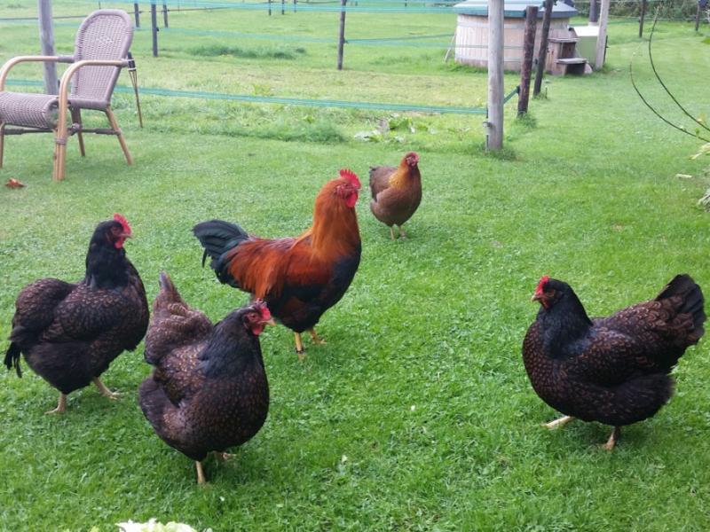 de kleine pol kippen