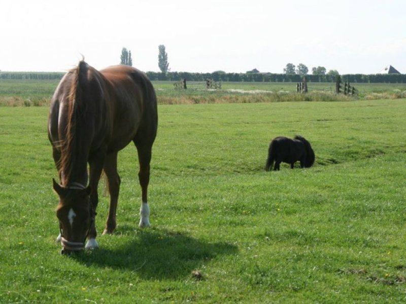 de groene hoeve paarden