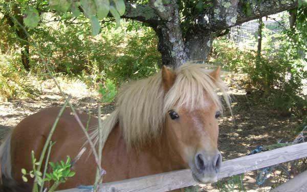 bonjardim pony