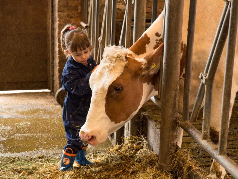 FarmCamps Brandenhorst koe