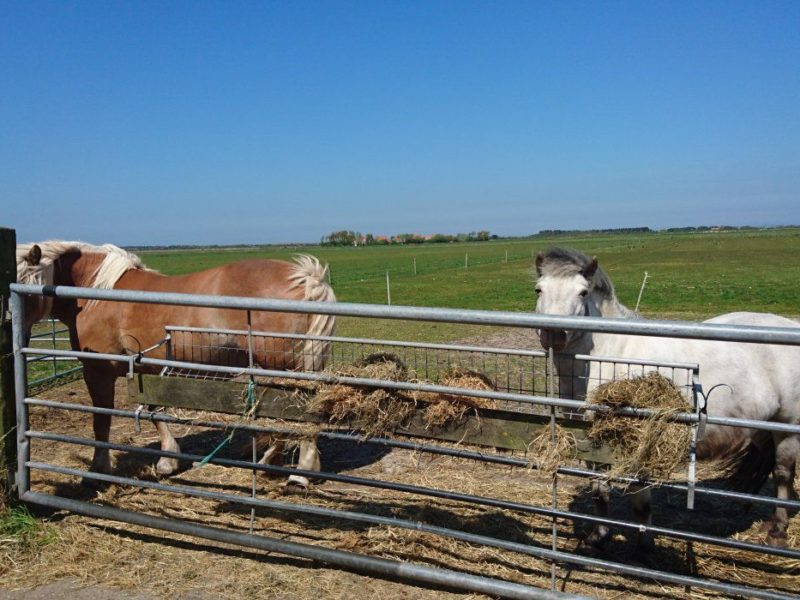 Pony's van Boerderij Ameland