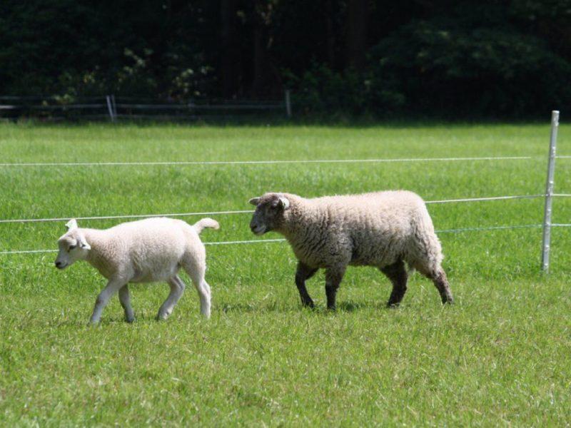 Landgoed Tongeren schaapjes en lammetjes