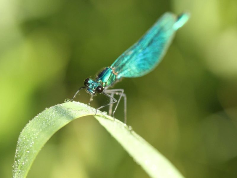 Kyllburg libelle