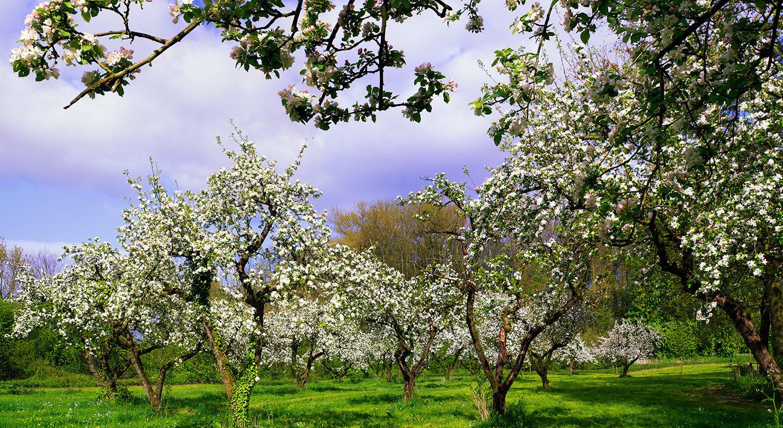 Eiland van Maurik - Glamping - bloesem aan de appelbomen