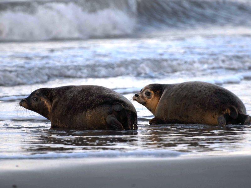 Zeehonden - Klaverweide, Noordzeestrand