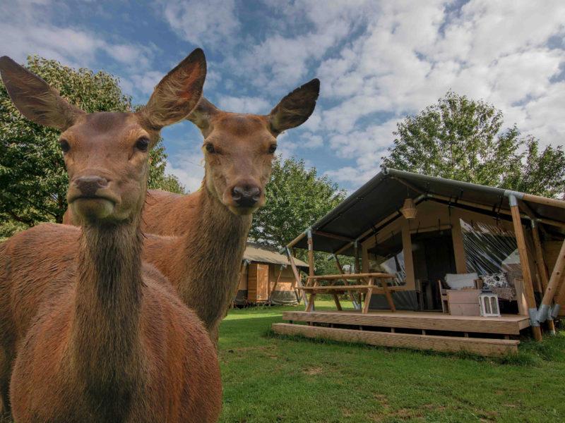 Safaritent, herten -Weerd´s Hertenboerderij - glamping.nl