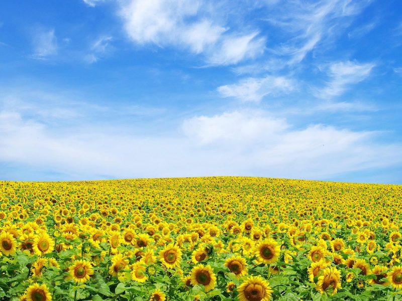 Zonnebloemenveld - La Belle ST-Fli - Glamping